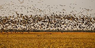 Kansas Luxury Pheasant Hunt 16