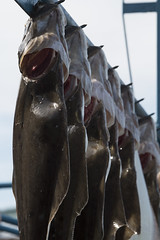 queue (po_chun_huang) Tags: fish alaska canon homer halibut lined 70d paralel canon70d