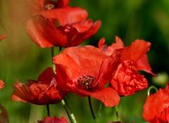 2015-09-11 villers (131)poppies (april-mo) Tags: red france fleur poppies wildflower redflower nord coquelicot flore redpoppy fleursauvage flowersadminfave bruille