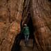 Dentro de uma sequoia