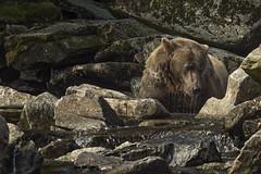 brown bear alaska (Drew Hamilton) Tags: bear alaska fishing salmon grizzly brownbear katmai