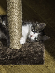 All New! (DeePee64) Tags: pet animal cat kitten bebe atplay scratchingpost september2015