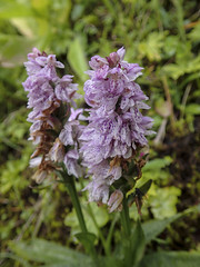 Geflecktes Knabenkraut (Dactylorhiza maculata) - Thorsmörk Langidalur, Laugavegur - Trekking auf Island