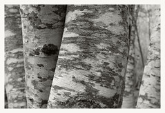 Alder (4) (Robert Drozda (off-line mostly)) Tags: bw tree washington pattern mountrainiernationalpark trunk alder mora westsideroad lenticel drozda tahomacreekfishcreekvalley