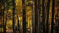 Autumn Aspen Forest (The Good Brat) Tags: autumn trees color leaves us colorado foliage aspen
