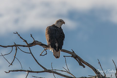 Bald Eagle roosting along the South Platte River