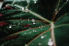"""Gotas de vida"" (yamircuevas) Tags: flowers naturaleza flower green hoja nature leaves garden drops agua bokeh sony drop gotas gota veracruz wather jardín pozarica sonyalpha alpha200"