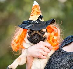 20151028-DSC_8097-Edit.jpg (zane.hollingsworth) Tags: halloween costume witch mila pug 200mm nikond800 20035mmeq