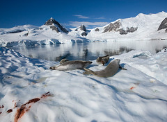 Weddell Seals after a meal of penguin. Paradise Bay, Antarctica 2007