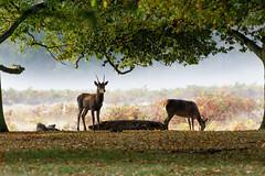 Autumn (shaftina©tion) Tags: autumn trees game male misty woodland fur mammal woods vibrant rich foggy royal deer antlers strong buck majestic autumnal sturdy regal reddeer mammalia copse clump ruminant eventoedungulates cervuselaphus cloven stocky