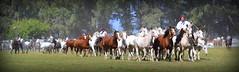 Los Overos de Maip (Eduardo Amorim) Tags: horses horse southamerica argentina criollo caballo cheval caballos cavalos pferde herd cavalli cavallo cavalo gauchos pferd ayacucho chevaux gaucho cavall  amricadosul gacho amriquedusud provinciadebuenosaires  gachos  sudamrica suramrica amricadelsur sdamerika crioulo caballoscriollos criollos  tropillas buenosairesprovince americadelsud tropilhas tropilla crioulos cavalocrioulo americameridionale tropilha caballocriollo eduardoamorim cavaloscrioulos