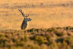 Eye on you (BigBadCol The Ex Gunner) Tags: wildlife peakdistrict doe reddeer wildanimals rutting bigmoor reddeerstag