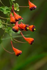 Soldadito (Matias Pavez Peillard) Tags: chile flowers naturaleza flores nature flora tricolor tropaeolum cachagua nativa soldadito relicario