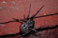 'Windolene' (Procrustes2007) Tags: uk england spider suffolk britain wildlife arachnid nikond50 sudbury wildlifephotography nucteneaumbratica d50night sigmadg70300f456macro metz24af1 walnutorbweb gridreftl883407