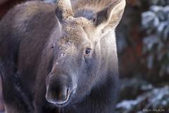 151117_3990es (Ken Marsh Wild Northwest Images) Tags: winter alaska wildlife ak moose alaskan moosecalf