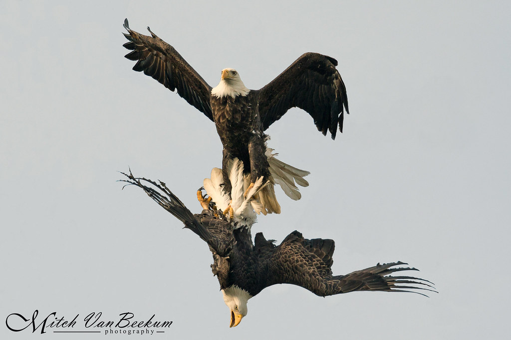 Rumble In The Jungle - Bald Eagles