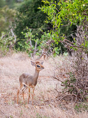 Might as well face it, you're a dik-dik to love (altsaint) Tags: africa kenya panasonic safari tsavo dikdik gf1 easttsavo 45200mm