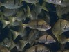 Anisotremus davidsonii (Sargo), Santa Catalina Island, California - Olympus E-520 - Zuiko ED 50mm f/2 (divewizard) Tags: ocean california school sea fish seascape water rock silver ed island 50mm catalina marine shiny underwater pacific dive stripe scuba diving olympus fisch peixe catalinaisland f2 pescado reef poisson zuiko fisk grunt cá 魚 dlsr coldwater 鱼 losangelescounty santacatalinaisland blackstripe zd isda sargo inon рыба דג سمك 물고기 риба samaki henrock kalastaa e520 ψάρι z240 chrisgrossman zuikoed50mmf2 olympuse520 inonz240 मछली pte05 xanticsargo burropiedrero sargorayado anisotremusdavidsonii