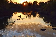 Lineup (NaturalLight) Tags: sunset reflections geese kansas wichita canadageese lineup chisholmcreekpark