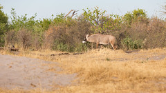 20151106_Savuti_0074.jpg (eLiL1860) Tags: botswana tierwelt roanantilope safari2015