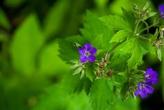 .. (akk_rus) Tags: flowers summer flower nature season nikon europe russia nikkor      moscowregion d80 18135mm   nikond80 18135mmf3556g afsnikkor18135mm13556ged