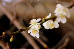 IMG 4469 (Eminpee Fotography) Tags: garden trees food plumtree flowers