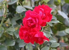 Red beautiful flower. (irio.jyske) Tags: beautiful red flower donau wien summer canon sigma