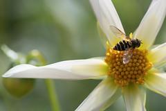 pinwheel bee (jeff's pixels) Tags: pinwheel bee flower dahlia plant macro closeup nature nikon petal insect