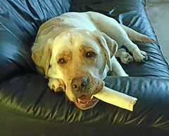 Gracie with bone in mouth (walneylad) Tags: gracie dog canine pet puppy lab labrador labradorretriever cute october fall autumn