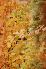 ast3 (obsequies) Tags: autumn fall harvest leaves bokeh colours colors canada manitoba forest mori trees shrubs colorful colourful love whimsy whimsical macro seasons change changing leaf patchwork rain magic magical home country chic cottage