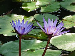 purple sisters in the morning (oneroadlucky) Tags: nature plant flower purple lotus waterlily