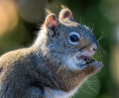 Beautiful Sunday Squirrel (edmason88) Tags: squirrel sunday beautiful tamron150600 strathconacounty alberta