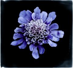 Field Scabious - (Knautia arvensis) (Net_Ski) Tags: netski fieldscabious knautiaarvensis canon flora flower wildflower gloucestershire