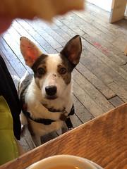 Home Dog (Jainbow) Tags: lina home cafe coffeeshop albertroad table cup tea dog colliecross shollie floor jainbow streetdog rescuedog adopted