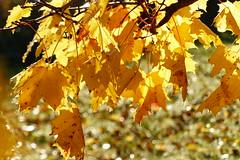 Hstlv (evisdotter) Tags: hstlv autumnleaves autumn fall light colors nature macro bokeh sooc lnnlv maple
