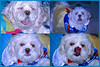 PRINCESS STRANGLED AT THE GROOMER,TORONTO,CANADA (OdeteCondeOliveira) Tags: canada toronto princess review blood table leash welfare animal police liar tutorial groomer pain suffering necropsy neck strangled dog expression portrait pet tongue snow white costume bokeh depth field christmas