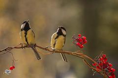 whats up (Geert Weggen) Tags: nature animal red perennial closeup cute plant funny happy ground bright light branch yellow bird tit titmouse berry up look two geert weggen hardeko ilobsterit sweden jmtland bispgrden ragunda