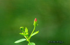 A New Hope (alimalmunzur) Tags: flower canon70200f28 canon650d canon70200mm green nature natureofbangladesh