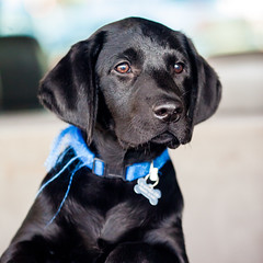 Hey Bailey! (Thomas Hawk) Tags: bailey eastbay blacklab dog labrador puppy fav10 fav25 fav50