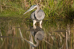 Great Blue Heron (NicoleW0000) Tags: great blue heron bird wader reflection water ontario nature photography