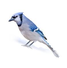 The Blue Jay, Running up That Hill (Laura's Aura) Tags: bird jay blue vector art snow