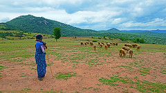 BEFORE THE RAINS... (GOPAN G. NAIR [ GOPS Photography ]) Tags: gopsorg gops gopsphotography gopangnair gopan photography sheep shepherd green greenery grass scenery karnataka india travel