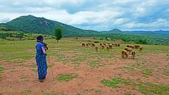 BEFORE THE RAINS... (GOPAN G. NAIR [ GOPS Photography ]) Tags: gopsorg gops gopsphotography gopangnair gopan photography sheep shepherd green greenery grass scenery karnataka india travel