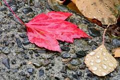 Stranger In Red! (Reed 1949) Tags: leaves red gold water raindrops concrete shoreline washington nikon nikond5200 tamron18270