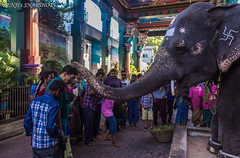 Blessings from the big mammal... (Renji's SnapShots) Tags: manakulavinayagartemple pondicherry india elephant temple blessings outdoor travel devotion