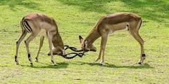 DSC_1596_edited-1s (Photos by Kathy) Tags: cincinnatizoo animals zoo zoos nature kathymoore nikon2000 impala antelope