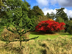 Monkey Puzzle & Japanese Maple (Marc Sayce) Tags: monkey puzzle tree japanese maple acer palmatum autumn 2016 alice holt lodge forest hampshire farnham surrey south downs national park wrecclesham bucks horn oak forestry commission research station gardens english
