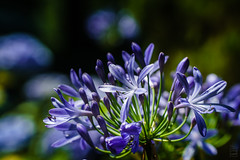 Azores 2016 / Agapanthus (T4ddy [Back in Action]) Tags: azoren azores e18105mmf4 holiday ilce6000 portugal saomiguel sonya6000 sonye18105mmf4gosspz travel urlaub