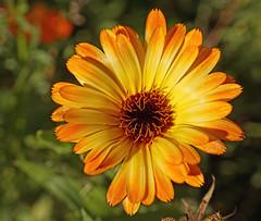 Autumn Flower (kendoman26) Tags: topazdetail topazsoftware orange autumn autumncolors fall fallcolors sonyalpha sonya58 sal30m28 macro