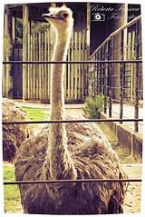 Estou bem na foto?  I am well on the photo?  #animais #animals #avestruz #ostrich #zoologicorj #zoorj (Betanandez) Tags: animals animais zoologicorj avestruz ostrich zoorj
